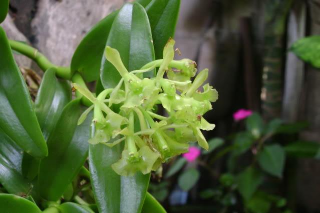 EpidendrumDifforme8.jpg