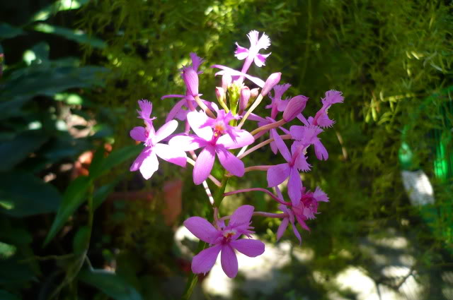 Epidendrumsecundum10.jpg