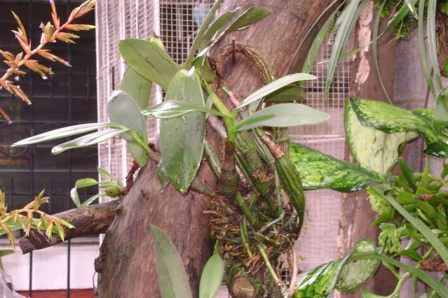 Epidendrumstamfordianum5-1.jpg