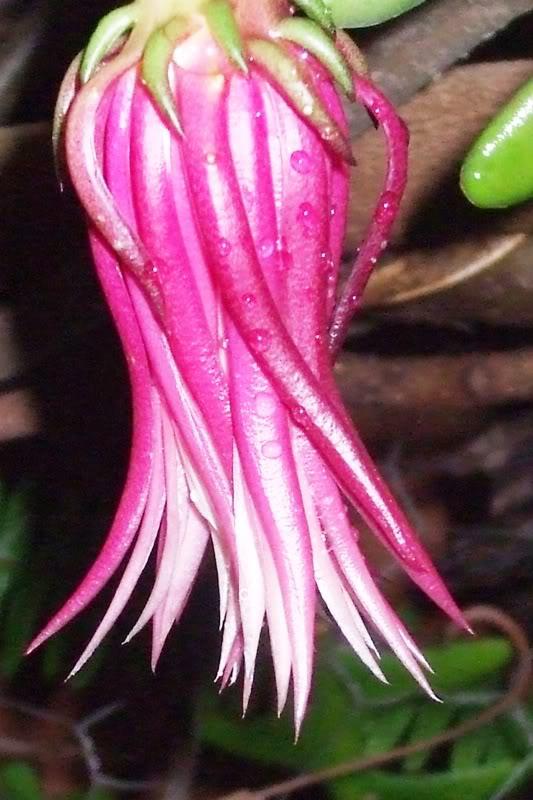 epiphyllumhoo.jpg
