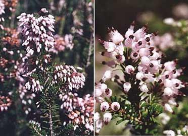 erica-multiflora.jpg