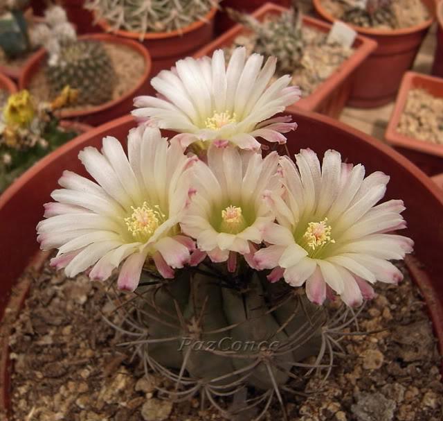 Eriosyce_paucicostata7.jpg