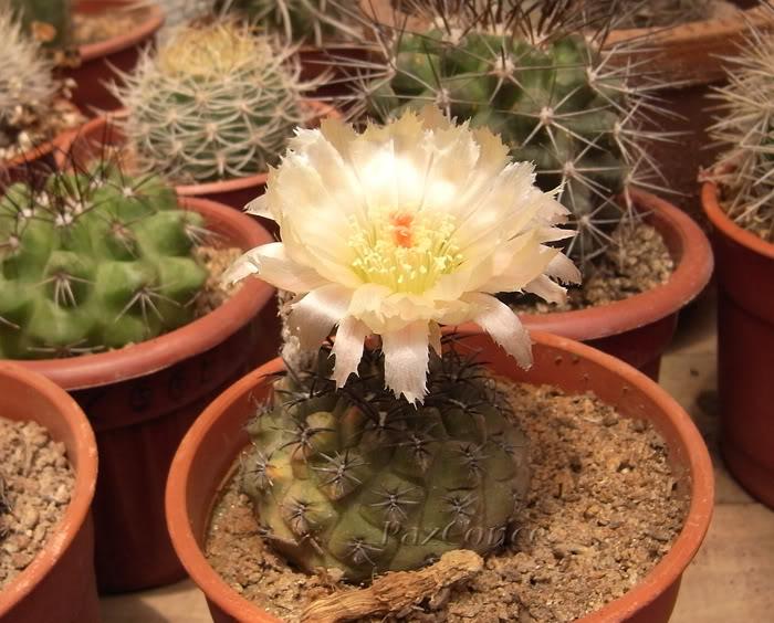 Eriosycecurvispinalimariensis2.jpg