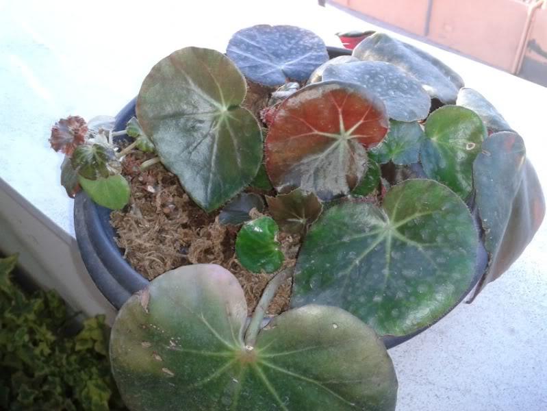 erythrophylla21062012.jpg