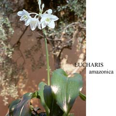 Eucharis_amazonica_pianta.JPG