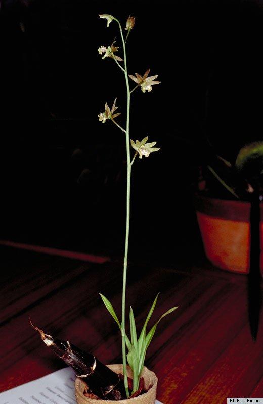 eulopandamanensis.jpg