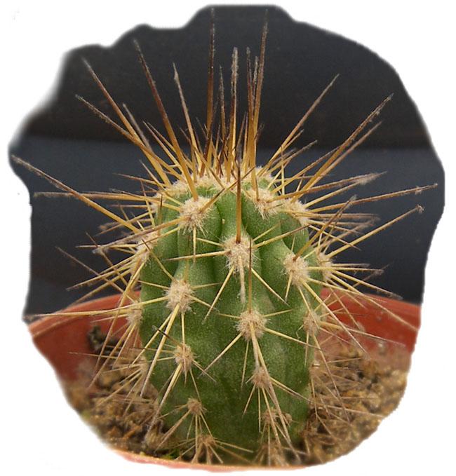 eulychnia_carrizalensis_b.jpg