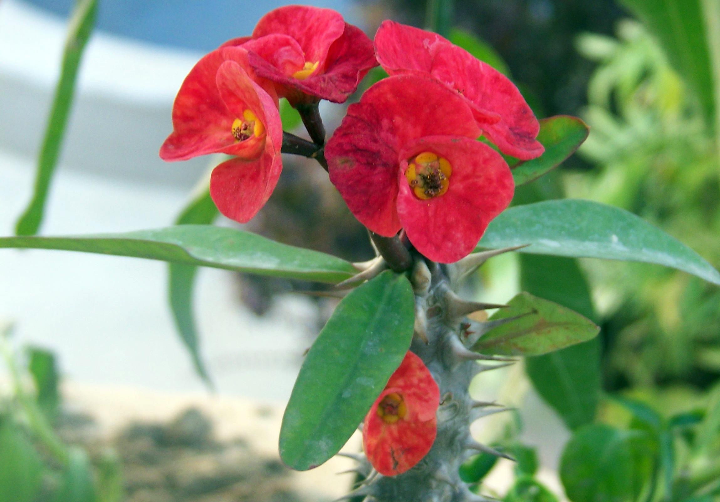 Euphorbia_milii_var.milii.JPG