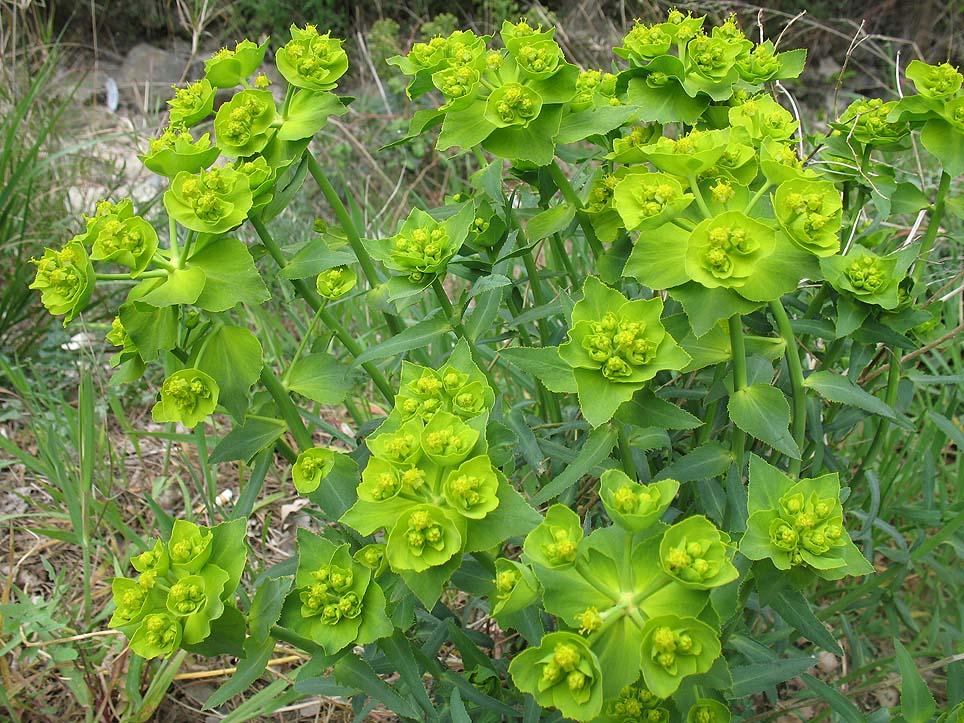 Euphorbia_serrata.jpg