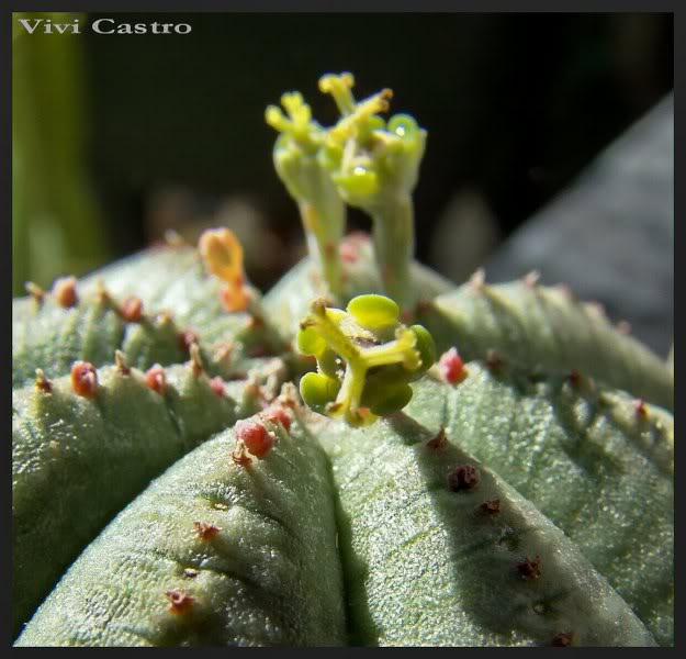 Euphorbiaobesahembra.jpg