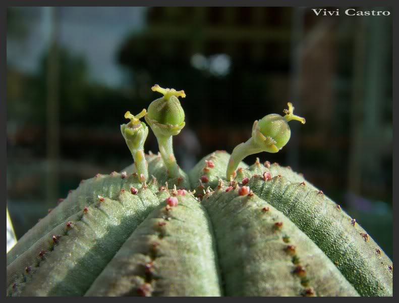 Euphorbiaobesahembra2.jpg