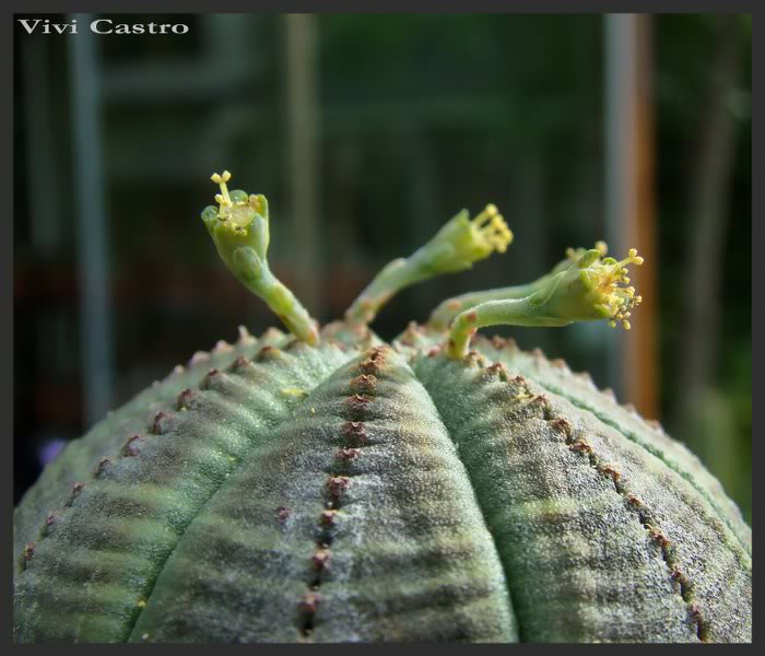 Euphorbiaobesamacho4.jpg
