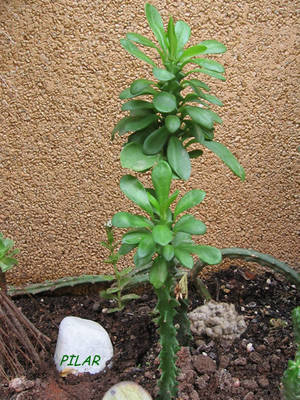 euphorbiaundulatifolia1ir7.jpg