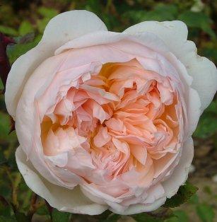 evelyn+rose.jpg