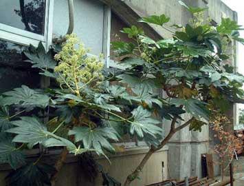 fatsia-japonica.jpg