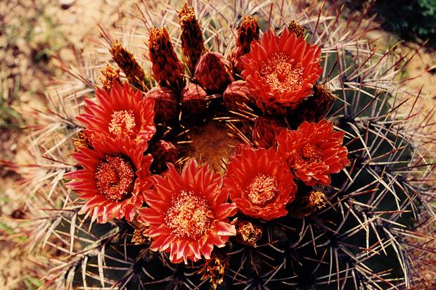 Ferocactus.emoryi.vw.03.jpg