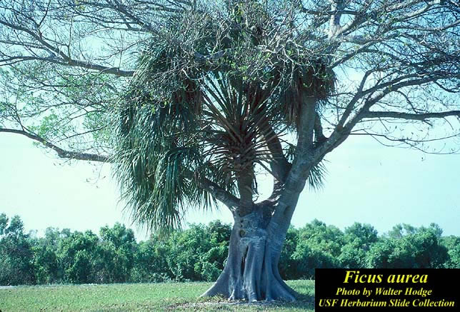 Ficus_aurea2_lg.jpg