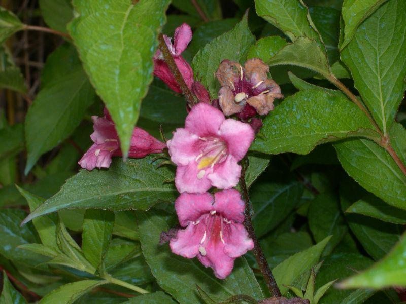 Arbusto De Flores Granates O Purpuras - Arbustos-de-flor