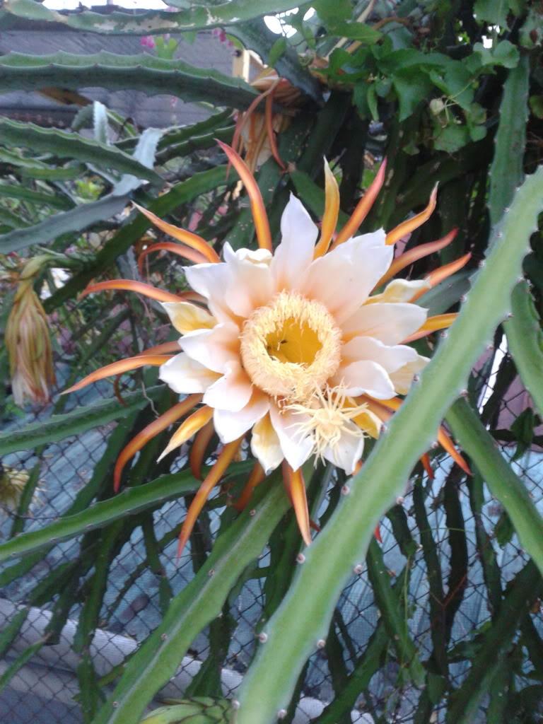Cactus y fruta desconocido - Infojardin cactus ...
