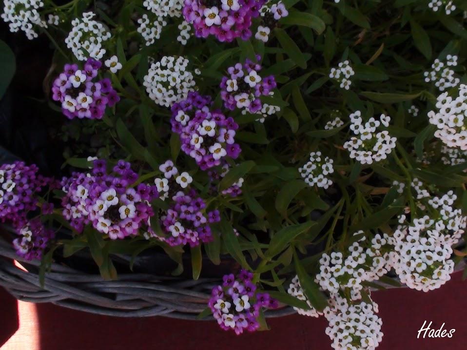flores+lilas.jpg
