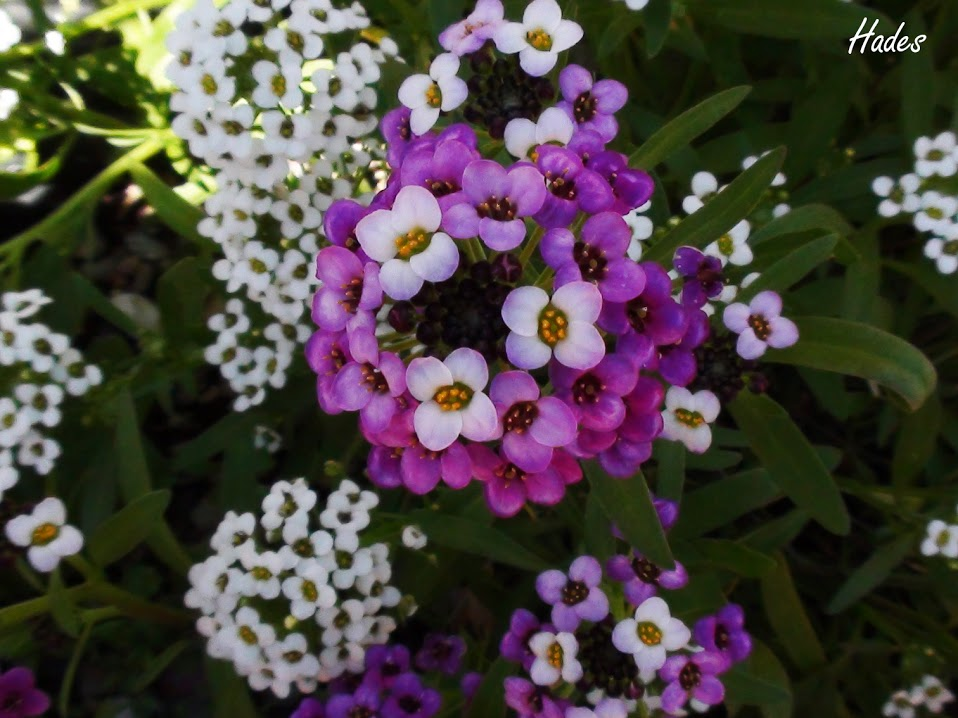 flores+lilas2.jpg