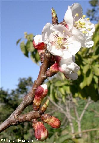 flors-armeniaca1.jpg