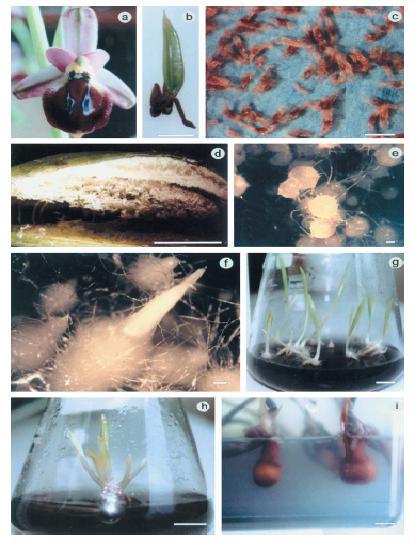 Fotos Ophrys.JPG