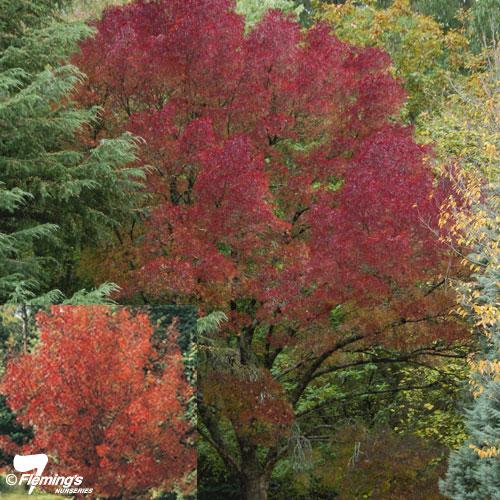 Fraxinus angustifolia 39 raywood 39 foto y caracteristicas de for Fresno caracteristicas