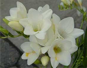 freesia-hybrida-blancas.jpg