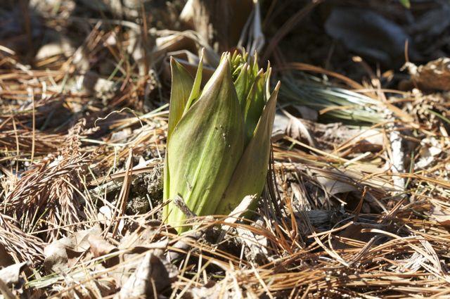 fritillaria-emerging.jpg