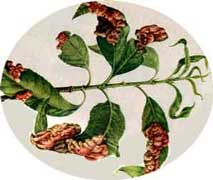 frutales-lepra-melocotonero.jpg