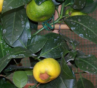 fruto%20con%20manchas%20limoncello.jpg