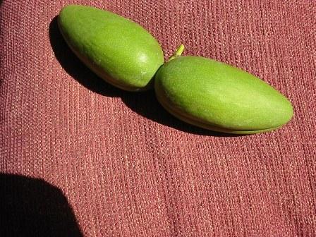 Fruto stephanotis.jpg