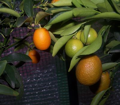 frutos%20kucle-kumquat.JPG