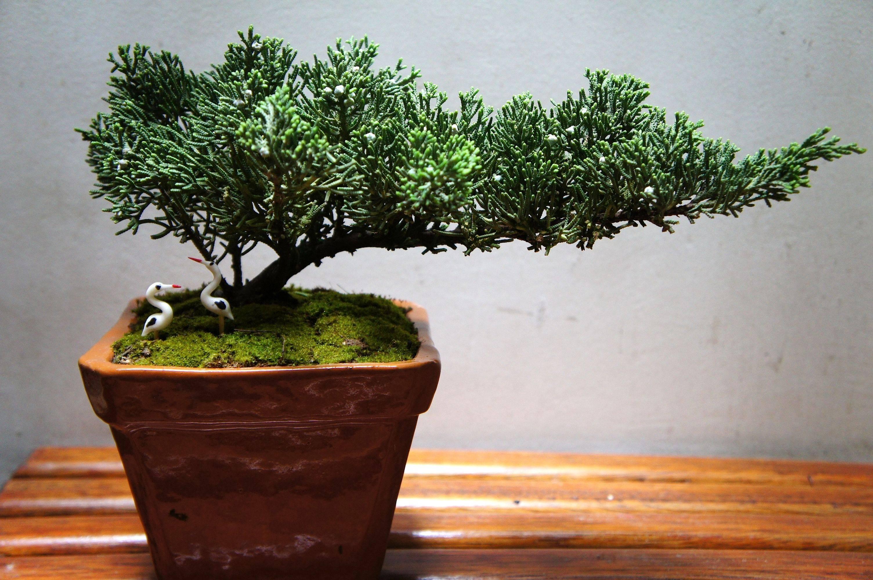 Compr un bons i y quisiera saber que especie es y sus - Cuidado del bonsai ...