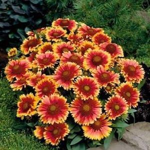 gaillardia-arizona-sun-perennial-flowers-from-seeds.jpg