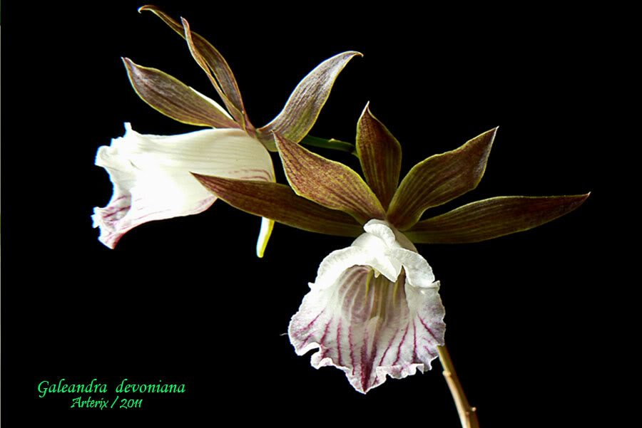 Galeandra_devoniana_001.jpg