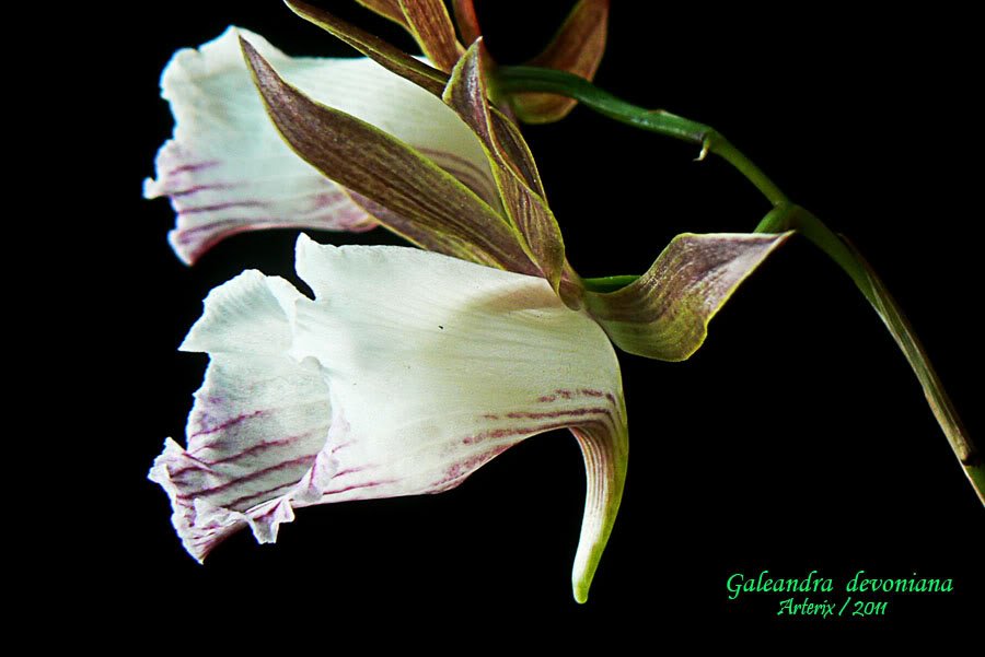 Galeandra_devoniana_003.jpg