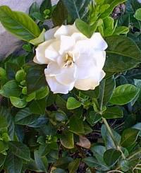 Gardenia_jasminoides.jpg