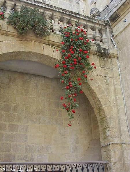 geranio-Malta.jpg