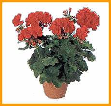 Geranio.Pelargonium Zonale