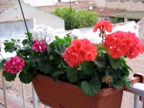 Cantidad de geranios colgantes que recomiendan para una for Que plantas poner en una jardinera