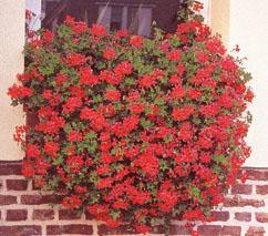 geranium-lierre-balcon-conseil-culture.jpg