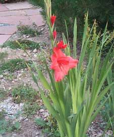 gladiolus-gladiolo.jpg