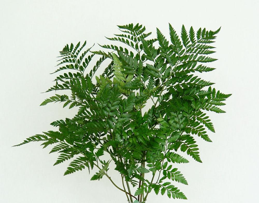 Follaje para florero qu debo usar for Para que se utilizan las plantas ornamentales