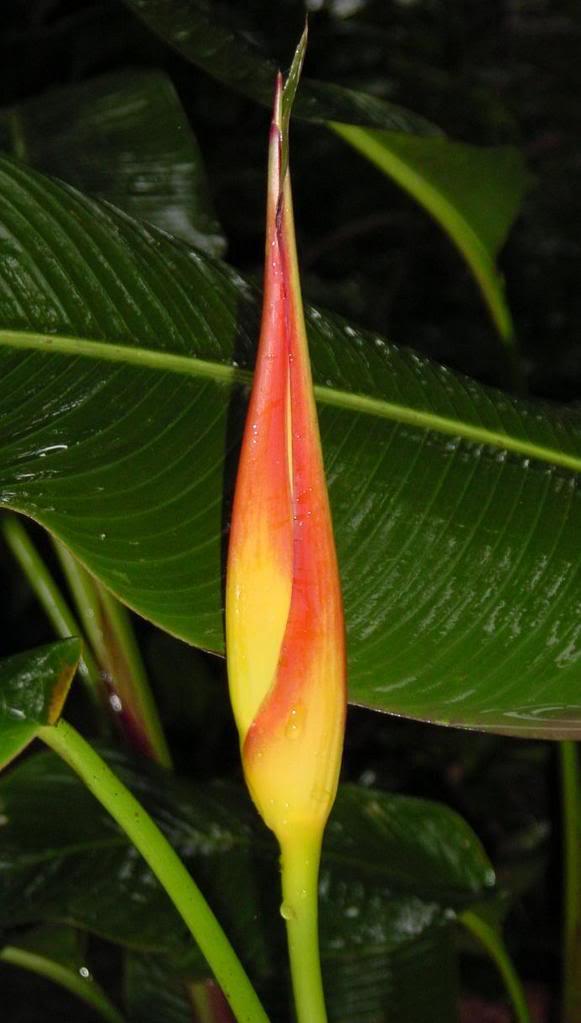 Heliconia_latispatha.jpg