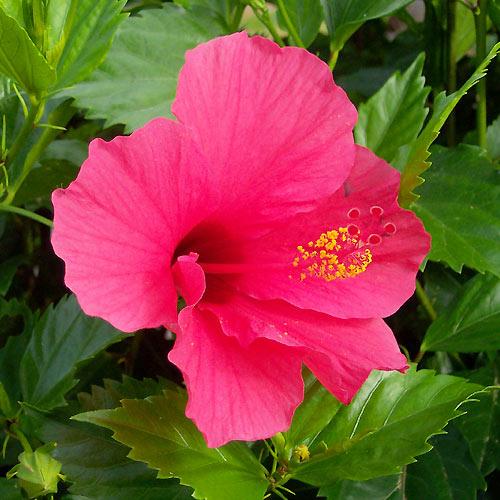 hibisco46.jpg