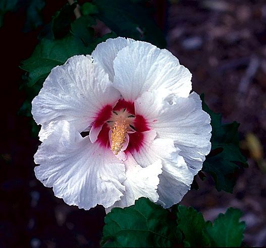 Hibiscus%20syriacus%20%204.jpg