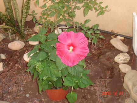hibiscus nuevo II.jpg