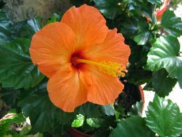 hibiscus-rosa-sinensis-nara.jpg